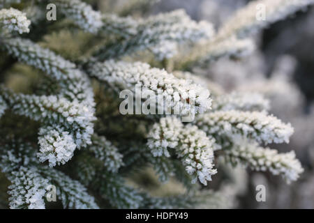 Frost and ice crystals on small fir tree branches close up on a cold day of winter. Shallow depth of field. - Stock Photo