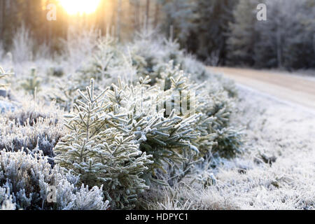Landscape of frost covered trees and forest floor in winter sunlight in Finland. Shallow depth of field. - Stock Photo