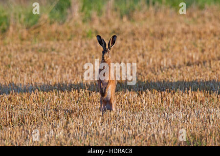 Alert European brown hare (Lepus europaeus) standing upright in stubblefield - Stock Photo