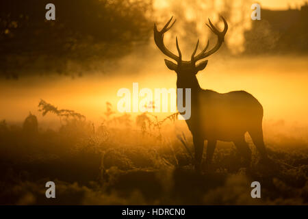 An impressive stag silhouetted by a glorious golden sunrise in Bushy Park - Stock Photo