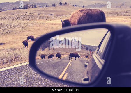 Vintage toned photo of American bison (Bison bison) on a road reflected in wing mirror, Grand Teton National Park, - Stock Photo