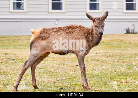 Close up picture of young elk in the Yellowstone National Park Visitor Center on the first snowy day, USA. - Stock Photo