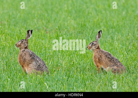 Two European brown hares (Lepus europaeus) sitting in grassland - Stock Photo