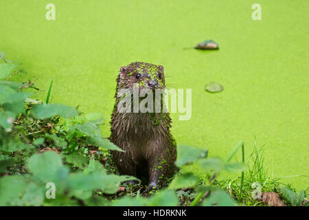 European River Otter (Lutra lutra) in pond covered in duckweed - Stock Photo