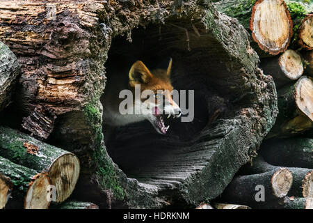 Red fox (Vulpes vulpes) in hollow tree trunk in woodpile in forest - Stock Photo
