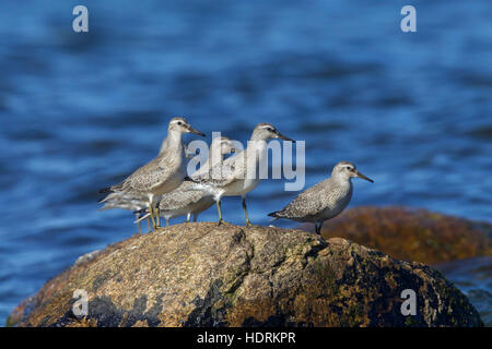 Red knots (Calidris canutus) in late summer plumage resting on rock along the Baltic Sea coast - Stock Photo