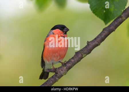 Common bullfinch / Eurasian bullfinch (Pyrrhula pyrrhula) male perched in tree - Stock Photo