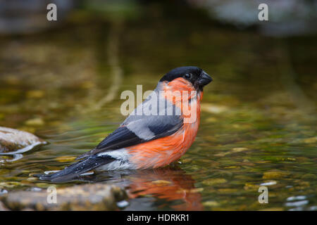 Common bullfinch / Eurasian bullfinch (Pyrrhula pyrrhula) male drinking water from brook - Stock Photo