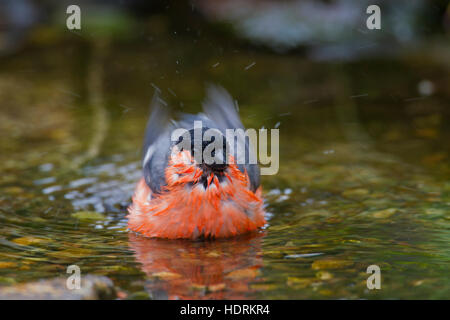 Common bullfinch / Eurasian bullfinch (Pyrrhula pyrrhula) male bathing in shallow water of brook - Stock Photo