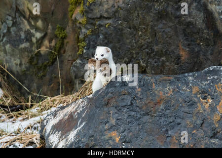Short-tailed weasel (Mustela erminea) with fresh kill in it's mouth, Portage Valley, South-central Alaska; Alaska, - Stock Photo
