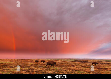 American bison (bison bison) and rainbow after the storm at Cross Ranch Preserve; North Dakota, United States of - Stock Photo