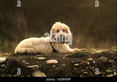 A blond cockapoo lays on the ground looking at the camera; South Shields, Tyne and Wear, England - Stock Photo