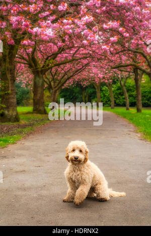 A dog sits on a trail lined with trees in pink blossoms; Gateshead, Tyne and Wear, England - Stock Photo
