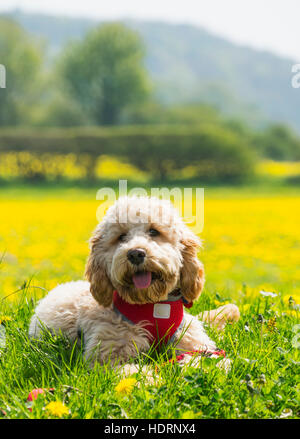 A blond cockapoo with a red collar sits on lush grass with wildflowers; Durham, England - Stock Photo