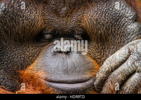 Orangutan portrait in Chiang Mai zoo, Thailand ; specie Pongo pygmaeus family of  Hominidae - Stock Photo