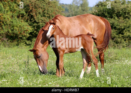 Beautiful mother horse with her foal nearby grazed on pasture summertime - Stock Photo