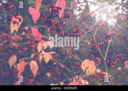 Red Seeds of Large Leaved Spindle Tree - Stock Photo