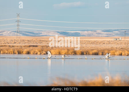 Tundra Swans in a prairie wetland in the foothills of Alberta Canada - Stock Photo