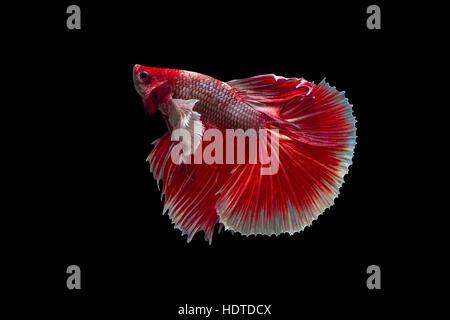 Siamese Fighting fish Betta Fish on black background - Stock Photo