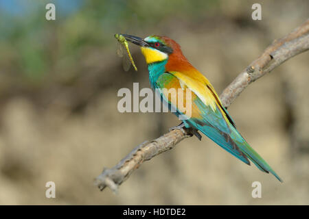 European bee-eater (Merops apiaster), sitting on branch with dragonfly in beak, Kiskunság National Park, Hungary - Stock Photo
