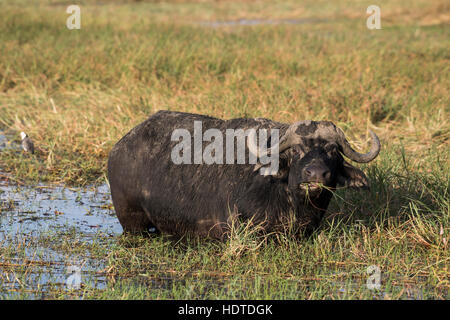 African or Cape buffalo (Syncerus caffer) standing in water, feeding, Chobe River, Chobe National Park, Botswana - Stock Photo
