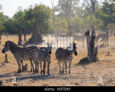 Small herd of Burchell's zebras (Equus quagga burchelli) in dusty scrub land, Moremi Game Reserve, Botswana - Stock Photo