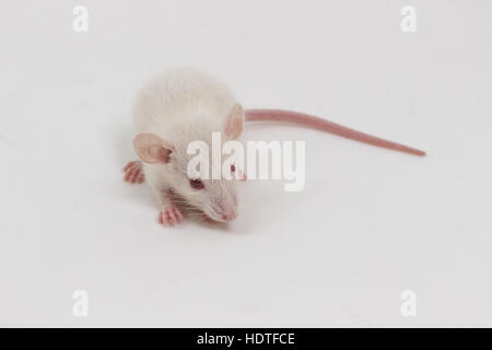 Albino white lab rat on white background - Stock Photo