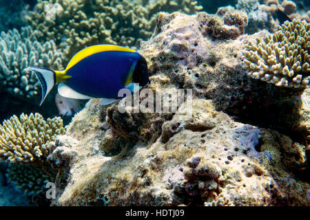 Reef corals on the Maldives, Indian Ocean - Stock Photo