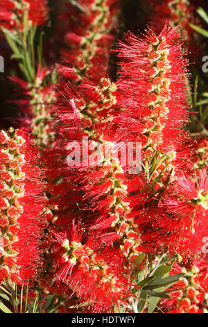 beautiful red flowers Bottlebrush closeup. vertical - Stock Photo