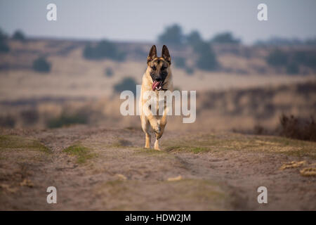 Young German shepherd running face front. - Stock Photo