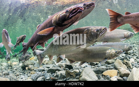 Underwater view of maturing coho salmon (Oncorhynchus kisutch) holding in a pool in Hartney Creek near Cordova, - Stock Photo