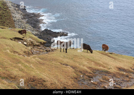 Soay sheep grazing cliff-top slopes on the island of Hirta, St Kilda archipelago, Scotland - Stock Photo