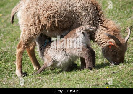 Suckling Soay lamb and mother on the island of Hirta, St Kilda archipelago, Scotland.