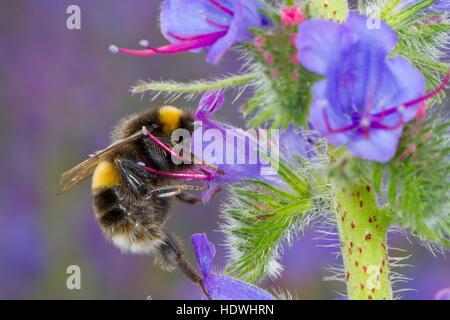 White-tailed bumblebee (Bombus sp.) adult worker feeding on Viper's Bugloss (Echium vulgare,) flowers. - Stock Photo