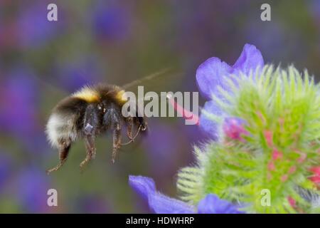 White-tailed bumblebee (Bombus sp.) adult worker in flight feeding on Viper's Bugloss (Echium vulgare,) flowers. - Stock Photo