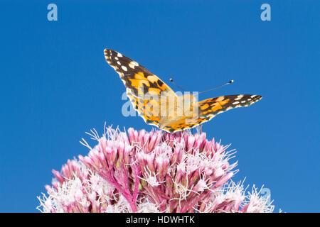 Painted Lady butterfly (Vanessa cardui) adult feeding on Hemp-agrimony (Eupatorium cannabinum) flowers. Powys, Wales. August.