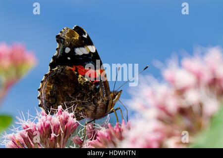 Red Admiral butterfly (Vanessa atalanta) adult feeding on Hemp-agrimony (Eupatorium cannabinum) flowers. Powys, - Stock Photo