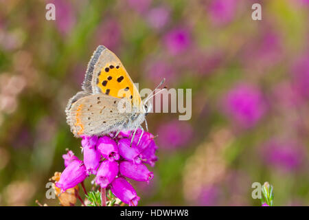 Small Copper butterfly (Lycaena phlaeas) adult male perched on bell heather. Powys, Wales. September. - Stock Photo
