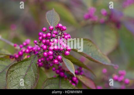 Beautyberry (Callicarpa bodinieri var. giraldii) 'Profusion'. Berries on a shrub in a garden. Powys, Wales. October. - Stock Photo