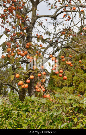 how to grow persimmon tree in victoria