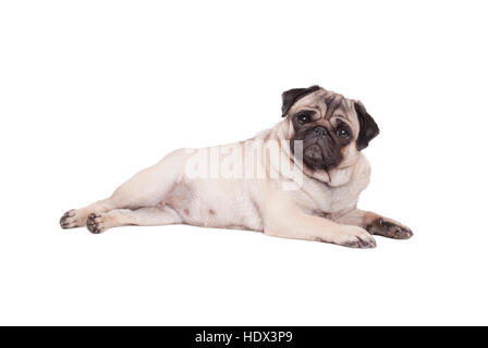 beautiful pug puppy dog lying down isolated on white background - Stock Photo
