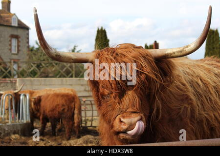 Highland cow cattle licking lips tongue long horns wavy red coat portrait - Stock Photo
