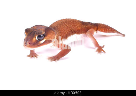 Smooth knob-tailed gecko, Nephrurus levis pilbarensis - Stock Photo