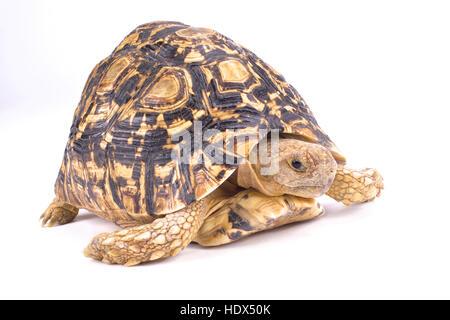 Leopard tortoise, Geochelone pardalis - Stock Photo