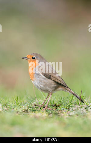 Robin Redbreast / Rotkehlchen ( Erithacus rubecula ) sitting on the ground, singing its song, side view, typical - Stock Photo