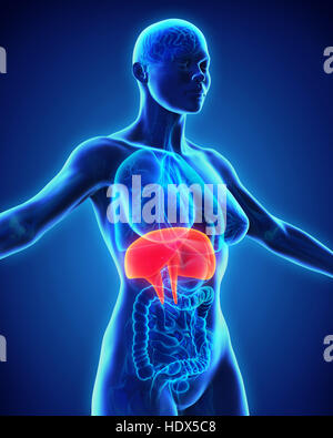Human Diaphragm Anatomy - Stock Photo