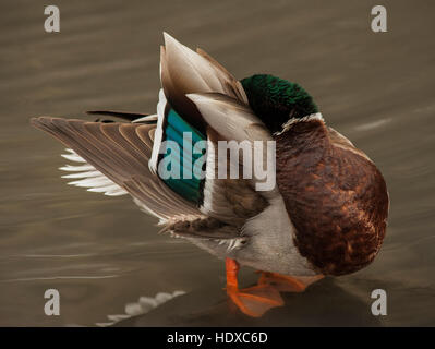 Mallard (Anas platyrhynchos), male, preening - Stock Photo
