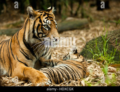 A tiger mother with her cub playing in the forest - Stock Photo