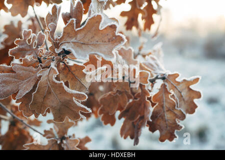 Oak tree branch with frosted leaves, season change concept, selective focus - Stock Photo