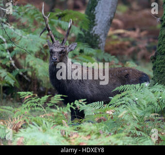 Sika stag (Cervus nippon) during the rut - New Forest, Hampshire, England - Stock Photo